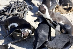 South Africa - Boulders Beach - African Penguin - Avventura