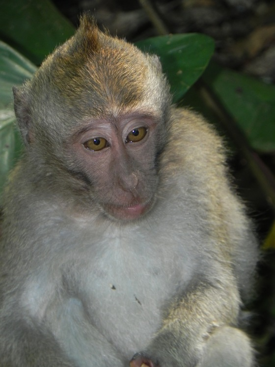 bali - scimmia alla monkey forest - di battistelli