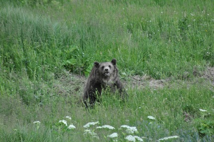 Yellowstone - Grizzly