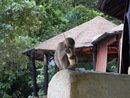 Railay monkey - Cultura
