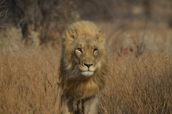etosha - The King - di Riccardo79