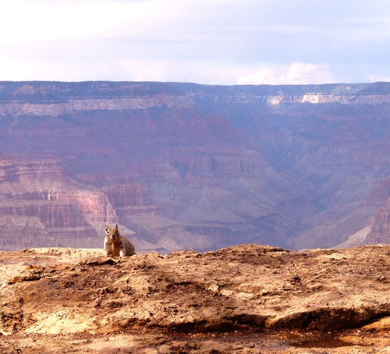Grand Canyon - Abitante del Canyon - di sarabress