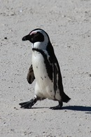 Pinguino a Boulders - Kruger National Park