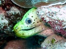 Spot- Face Moray - Maldive