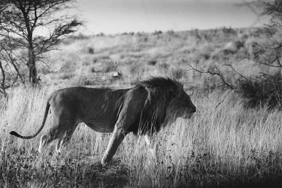 Namibia - The Lion - di pablosimo