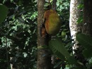 Fruit Bat (Mahe) - vallee-de-mai