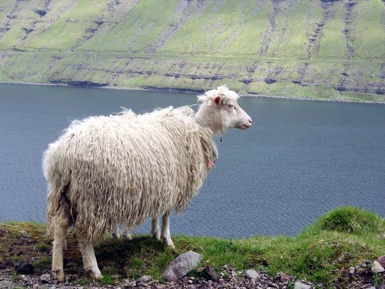 Faroe - Lucky Sheep - di supersara